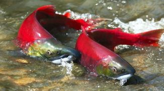 salmon vivo